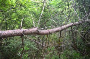 庭の大きな松の木を
